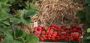 Agrisert - Gerpinnes - fraises